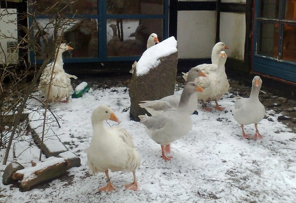 1,4 Krølgæs. 1,2 Blå Frankiske Landgæs. Januar 2013
