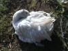 Krølgås - glatbrystet