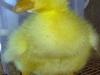 Første krølgæsling - klækket 22. maj 2012. To dage gammel. Den har i dag krøllet bryst