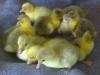 11 to og tre dage gamle gæslinger